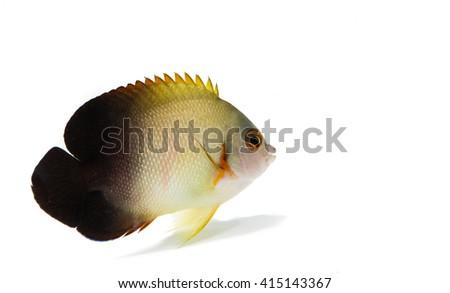 Half-black angel  marine fish on white background - stock photo