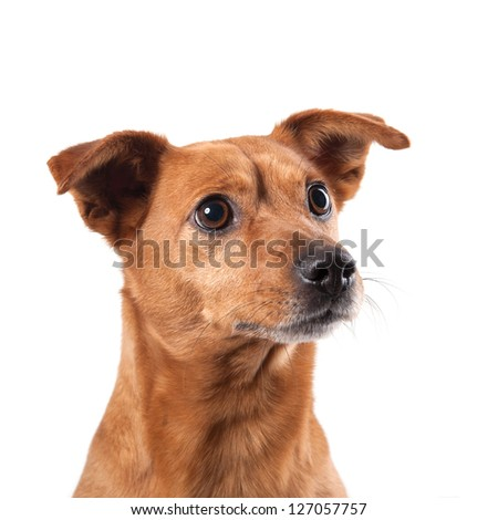 Half-breed dog isolated on white background. - stock photo