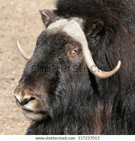 Half face portrait of a musk ox female. An excellent representative of the severe cold North wildlife. Cute and cuddly animal, that can be very dangerous beast in extreme situation. - stock photo