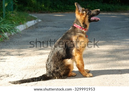 Half-face portrait of a young german shepherd dog puppy  - stock photo