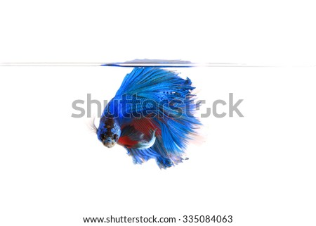 Half moon, siamese fighting fish, betta splendens on white background - stock photo