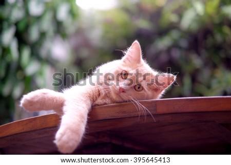 Half Persian breed cat looking at camera - stock photo