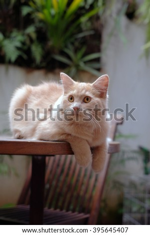 Half Persian breed cat resting on the table - stock photo