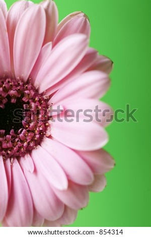 Half Pink Gerber Daisy with Green Background - stock photo