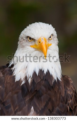 Haliaeetus leucocephalus - bald eagle - stock photo