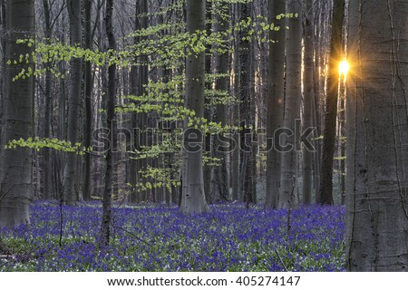 Hallerbos spring sunrise. Enchanted beech forest sunrise first light on the bluebells and wood anemones. Sun rays between the tree trunks.  - stock photo