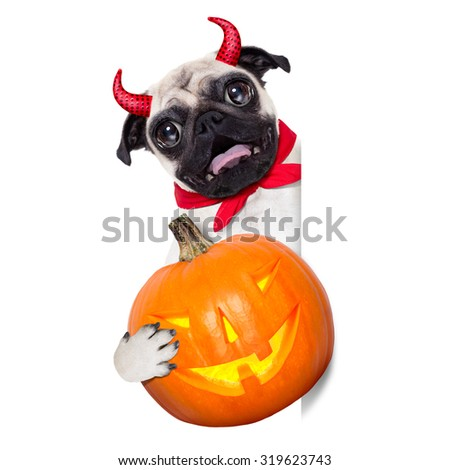 halloween devil pug dog  hiding behind white empty blank  banner or placard ,holding a pumpkin, isolated on white background - stock photo