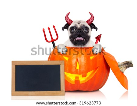 halloween devil pug dog inside pumpkin, scared and frightened, with blank empty blackboard or placard, isolated on white background - stock photo
