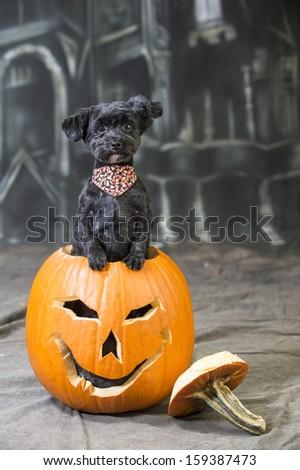 Halloween Dog emerges from a jack-o-lantern pumpkin - stock photo