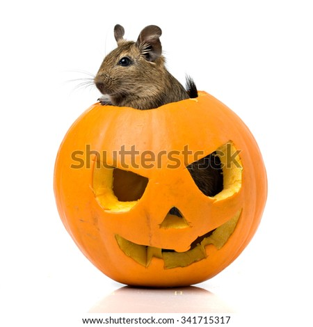 Halloween pumpkin closeup with funny rat inside isolated on white background - stock photo