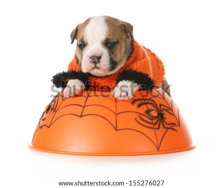 halloween puppy - english bulldog dressed up for halloween on white background - stock photo