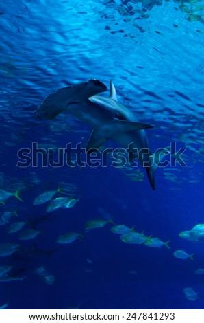 Hammerhead shark between the fish steam - stock photo