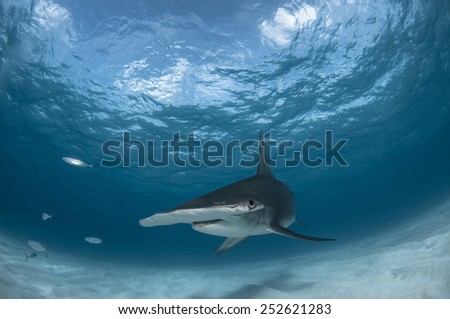 Hammerhead Shark in the Bahamas - stock photo