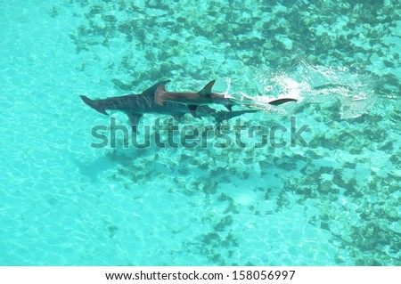 Hammerhead Sharks Mating - stock photo