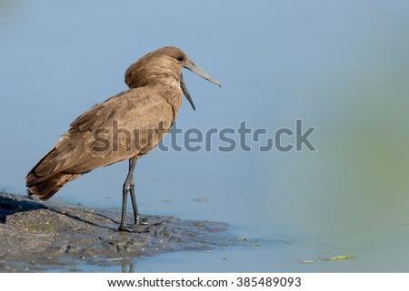 Hammerkop at water's edge in Khwai in Botswana - stock photo