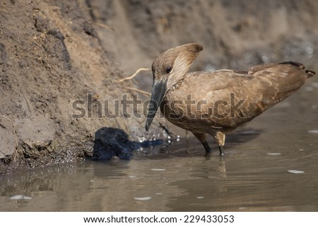 Hammerkop looking for food in watering hole at Kruger National park, South Africa - stock photo