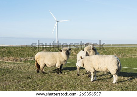 hampshire down and other sheep with thick coat of wool on green grass in holland nature on a dike with wide horizon and farm on the background in summer  - stock photo