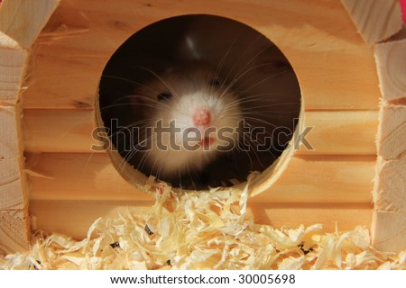 Hamster and its home - stock photo
