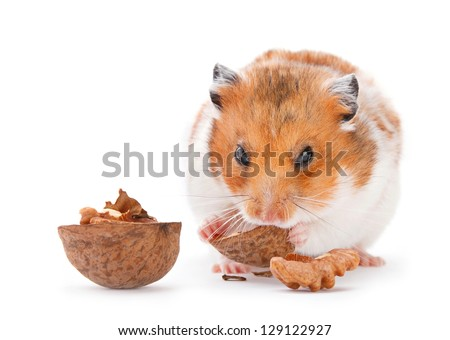 Hamster eating walnut on white - stock photo