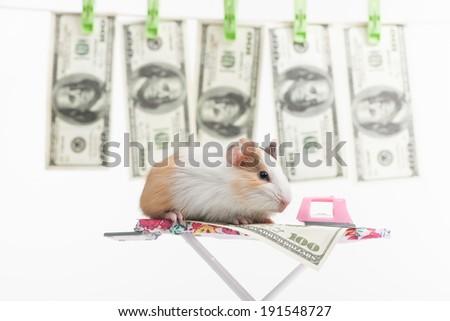 Hamster. Funny hamster ironing cash - stock photo