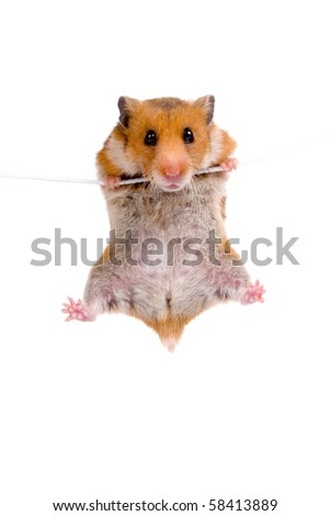 Hamster hanging on a rope on a white background - stock photo