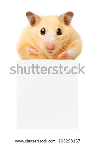 Hamster hold empty paper isolated - stock photo