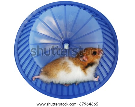 Hamster in a wheel over white background - stock photo