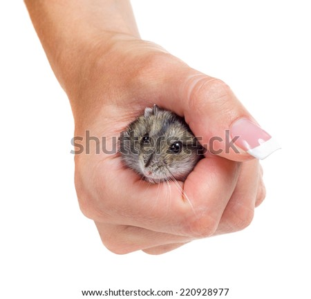 Hamster in hand isolated on white background - stock photo