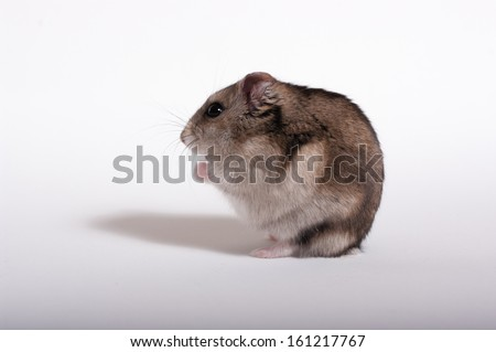 Hamster isolated in white - stock photo