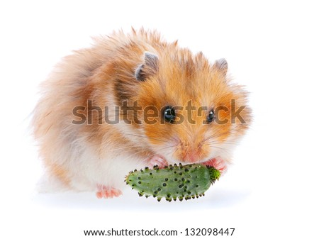 Hamster isolated on white eating cucumber - stock photo