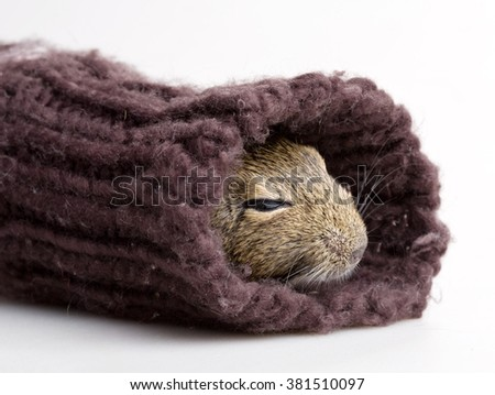 hamster muzzle in sleeve closeup isolated on white - stock photo