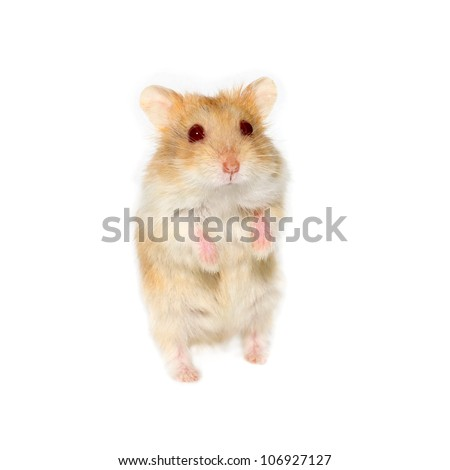 Hamster on a white background - stock photo