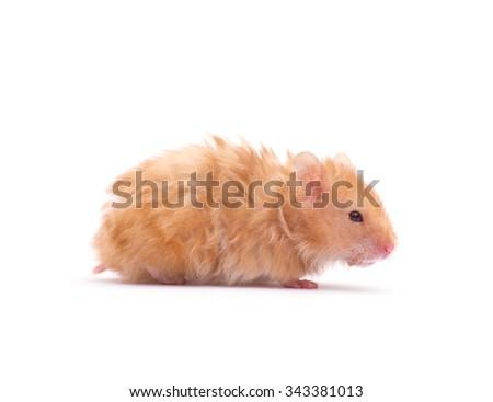 Hamster on white background - stock photo