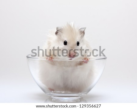 hamster peeking out of a glass cup - stock photo