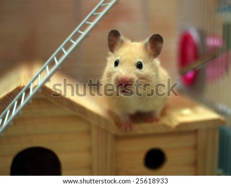 Hamster poses in front of the camera - stock photo