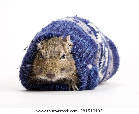 hamster snout front view in mitten isolated on white - stock photo