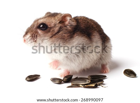 hamster with grain on white background - stock photo