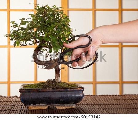 Hand cutting a bonsai tree in front of a japanese shoji sliding window - stock photo