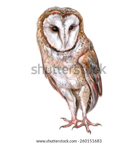 Hand drawn color pencil illustration of barn owl. Nocturnal bird of prey - stock photo