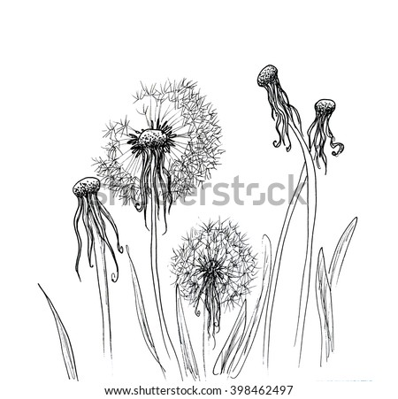 Hand drawn dandelion isolated over white background. Hand drawn illustration. Ink drawing flowers. Contour pencil drawing. Hand drawn sketch. Drawn sketch of flowers. Doodles hand drawn Flowers doodle - stock photo