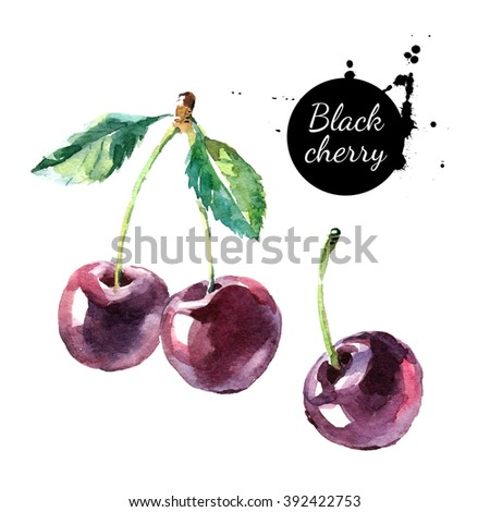 Hand drawn painting black cherry on white background. Watercolor illustration of berries - stock photo