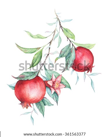 Hand drawn watercolor botanical illustration of pomegranate branch with green leaves isolated on white. Elegant design element for you projects: wedding, birthday, greeting cards, posters, prints, etc - stock photo