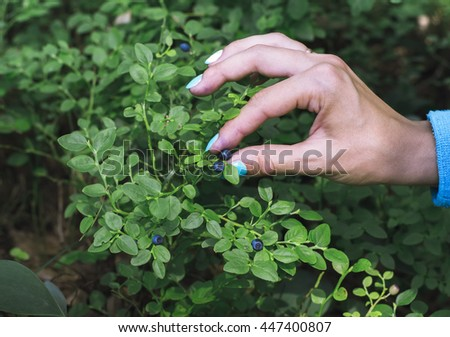 Hand gathering blueberries in the forest - stock photo