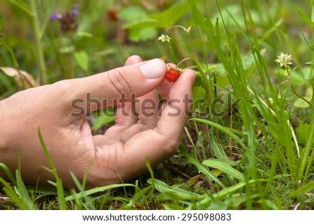 hand gathering of wild strawberries - stock photo