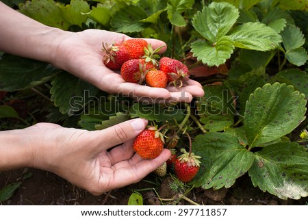 hand gathering strawberries, closeup  - stock photo