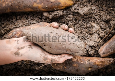 Hand handle fresh yacon root on the loose soil - stock photo