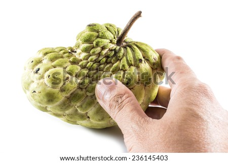 Hand hold Sugar Apple ( custard apple, Annona, sweetsop,Cherimoya fruit )  on white background - stock photo