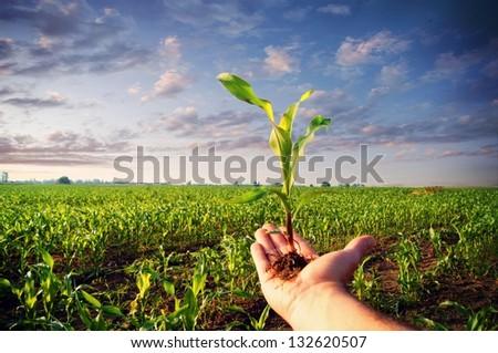 Hand holding a corn plant / corn plant - stock photo