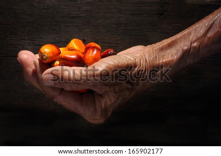 Hand holding a group of fresh and ripe oil palm fruits - stock photo