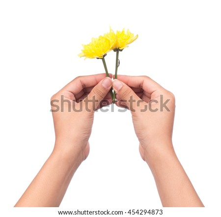 hand holding bouquet of yellow chrysanthemum flowers  isolated on white background. - stock photo